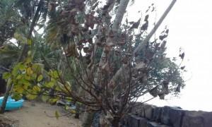 തീകാറ്റ് പരപ്പനങ്ങാടി തീരപ്രദേശത്തെ പച്ചപ്പ് കരിഞ്ഞുണങ്ങി