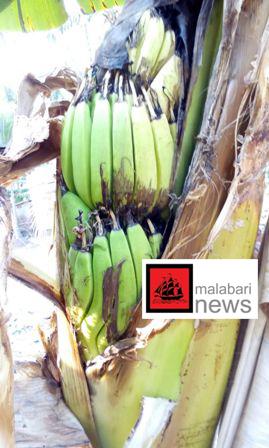 banana tree copy