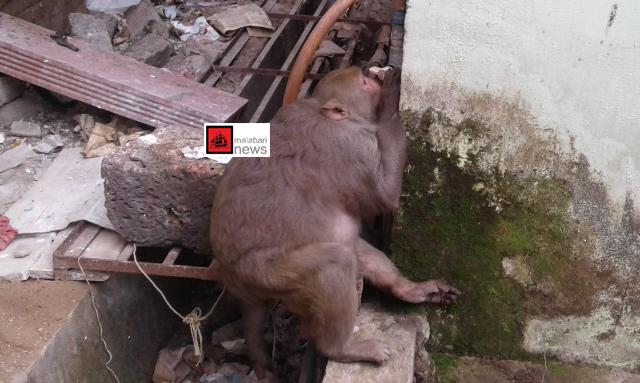 monkey copy
