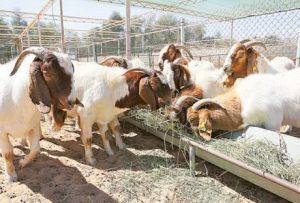 ആടുകളെ മോഷ്ടിച്ച പ്രവാസികള്ക്ക് 9 വര്ഷം തടവും നാടുകടത്തലും ശിക്ഷ